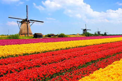 tulip_fields_netherlands.jpg